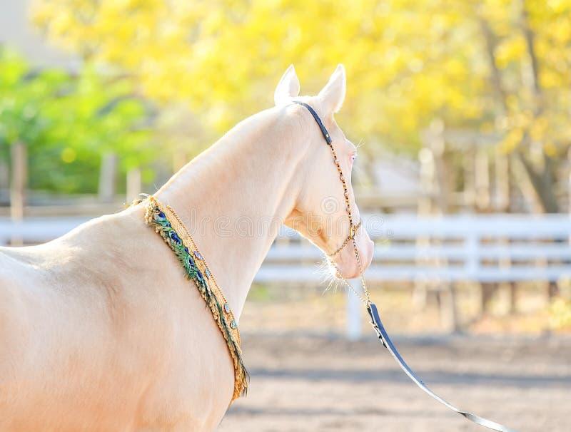 Akhal -akhal-teke paardportret stock afbeeldingen