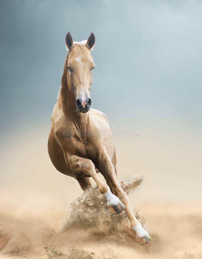 Akhal-tekepferd in der Wüste stockfotos