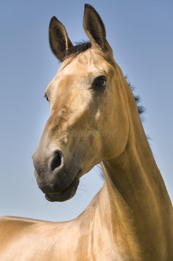 akhal złoty koński teke obrazy stock