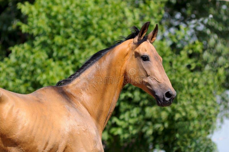 Akhalteke horse. Portrait light-bay Akhalteke horse stock photo