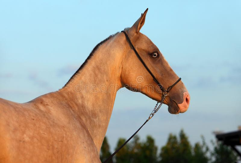 Akhalteke mare in evening stock images