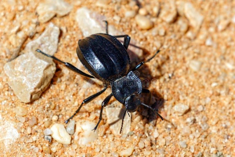 Akis granulifera Beetle, Ria Formosa Natural Park, Algarve, Portugal. A Akis granulifera, a species of Darkling Beetles seen at the Ria Formosa Natural Park near royalty free stock photography