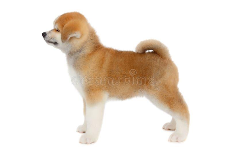 Akita älsklings- hund royaltyfri bild