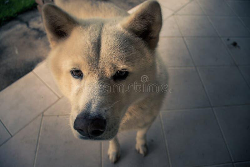 Akita curioso imagem de stock