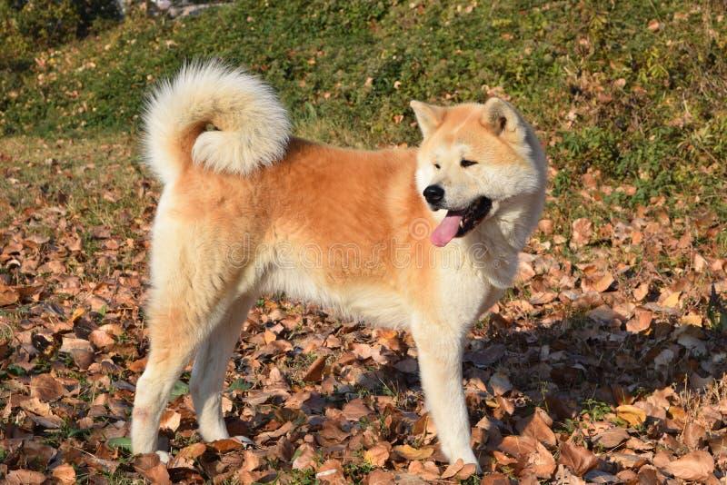Akita dog on autumn sun stock photos