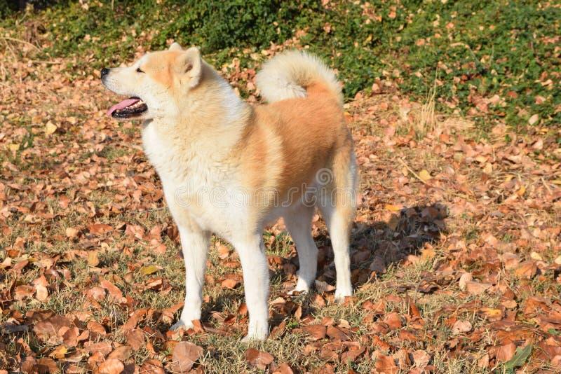 Akita dog on autumn sun royalty free stock photo