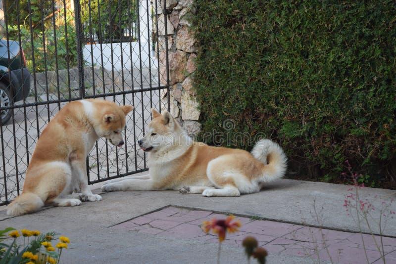 Akita dogs couple stock photography