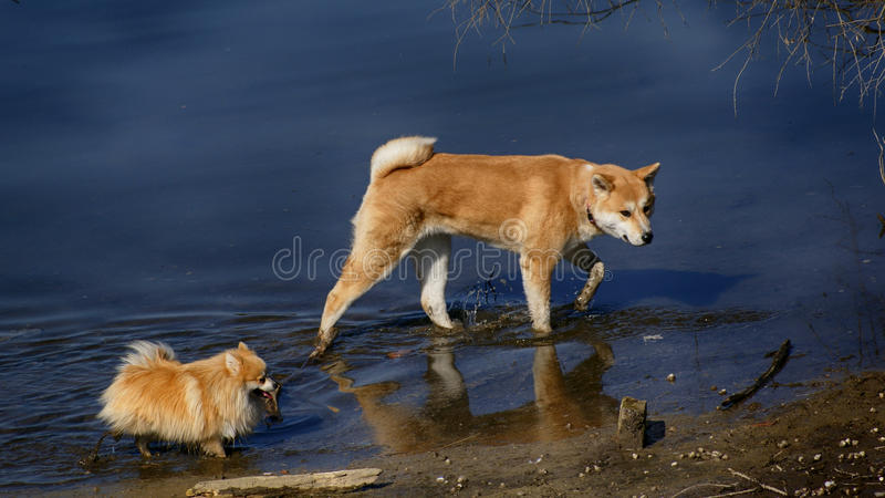 Akita grande e spitz pequeno que andam no rio fotografia de stock