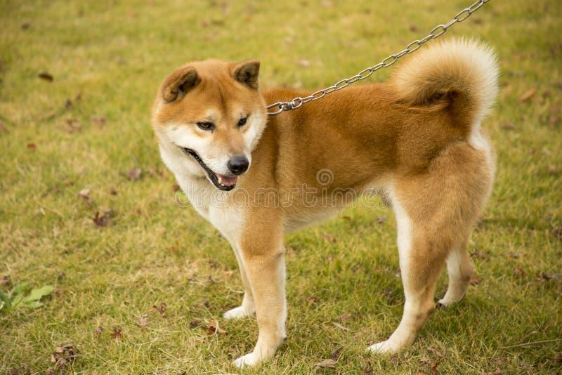 Akita hund royaltyfria bilder
