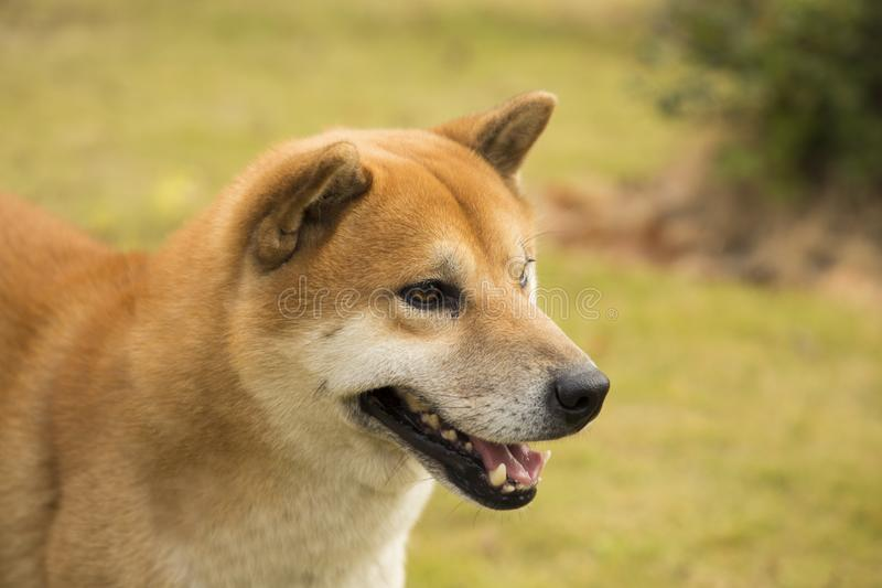 Akita hund royaltyfri fotografi