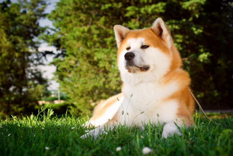 Akita hund i gräs arkivbilder
