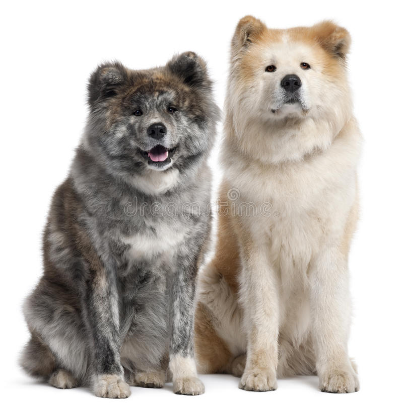 Akita Inu, 7 years old and 4 years old royalty free stock photography