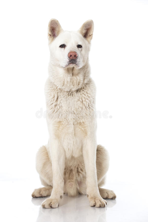 Download Akita inu dog stock image. Image of pedigreed, energetic - 29585093