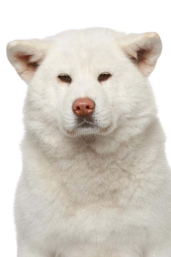 Akita inu dog. Close-up portrait royalty free stock photo