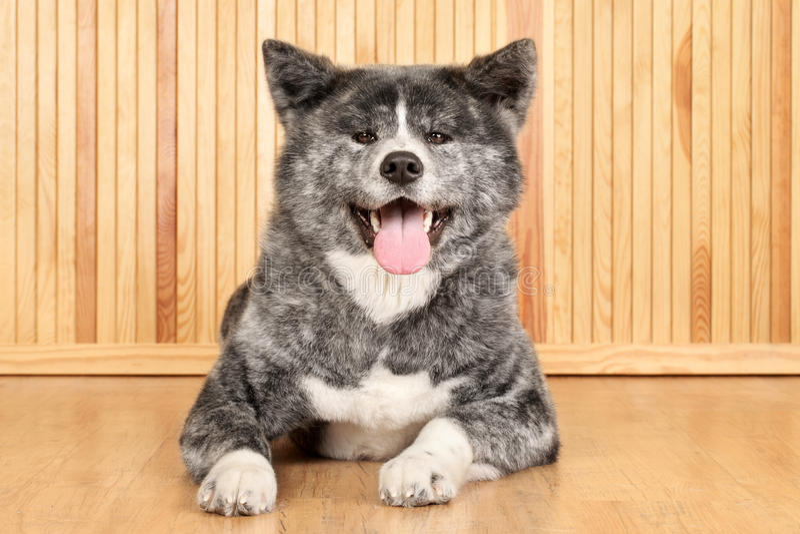 Download Akita Inu dog portrait stock photo. Image of bred, portrait - 23876360