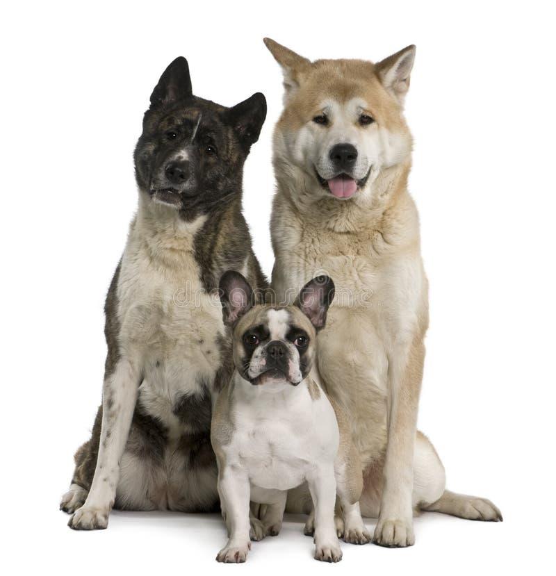 Akita inu Hunde- und der französischen Bulldoggesitzen lizenzfreie stockfotos