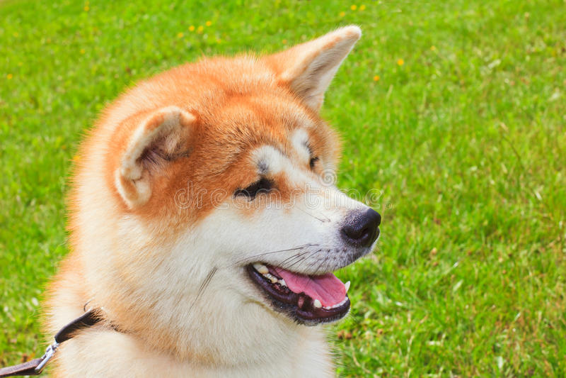 Akita Inu Japanese Dog stock photography