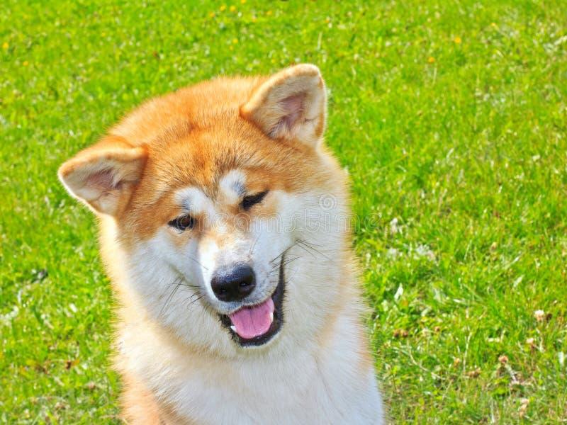 Akita Inu Japanese Dog smiles royalty free stock photos