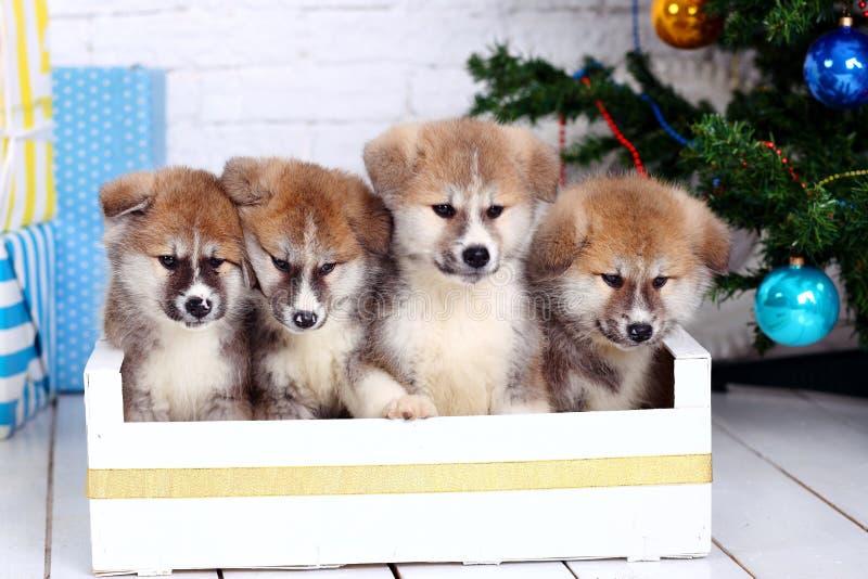 Akita-inu japonés, puppys del perro del inu de Akita sienta en el fondo del Año Nuevo imagen de archivo libre de regalías