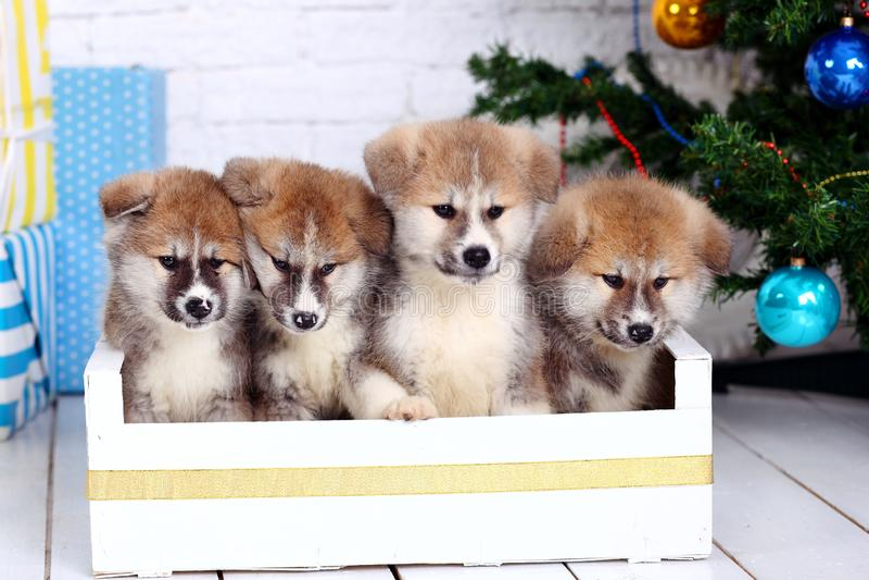 Akita-inu japonês, puppys do cão do inu de akita senta no o fundo de ano novo imagem de stock royalty free