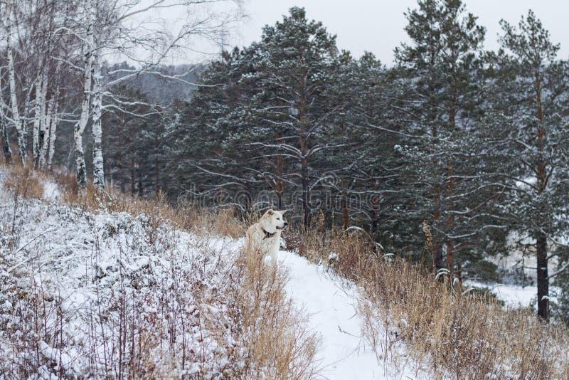 Akita Inu japonesa en el bosque en una trayectoria nevosa en invierno entre los pinos y los abedules hermosos fotos de archivo