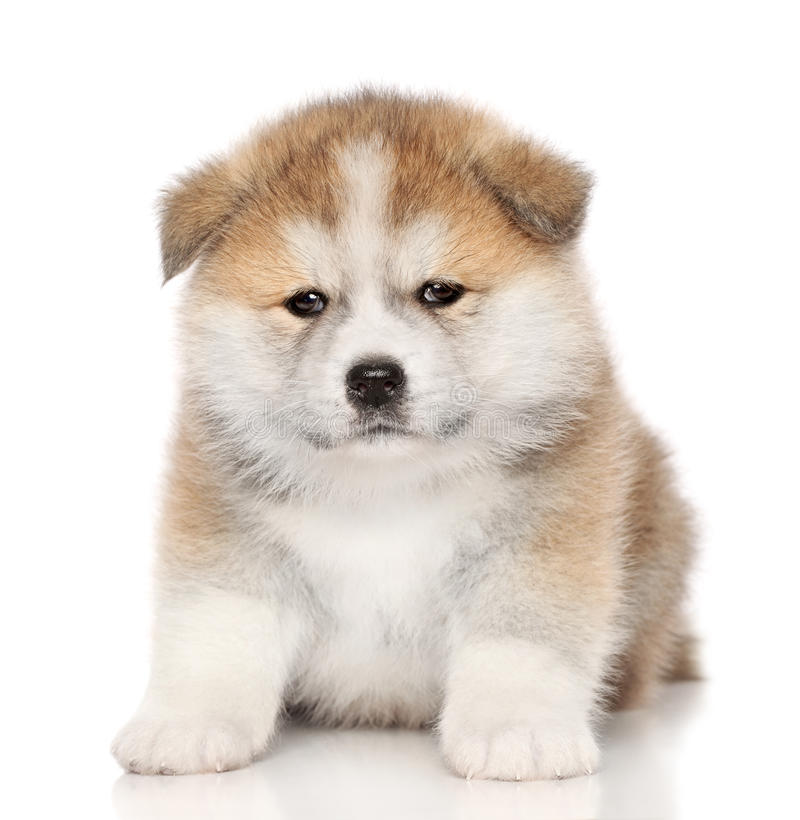 Download Akita-inu puppy stock photo. Image of portrait, funny - 23852584
