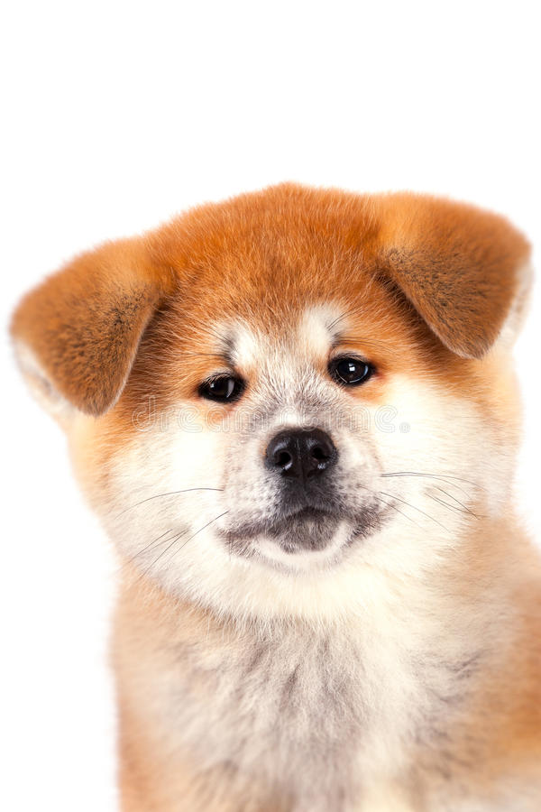 Download Akita-inu puppy stock image. Image of funny, pedigreed - 28534711