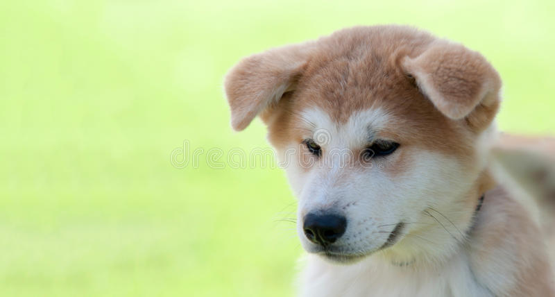 Akita Inu-puppy royalty-vrije stock foto's