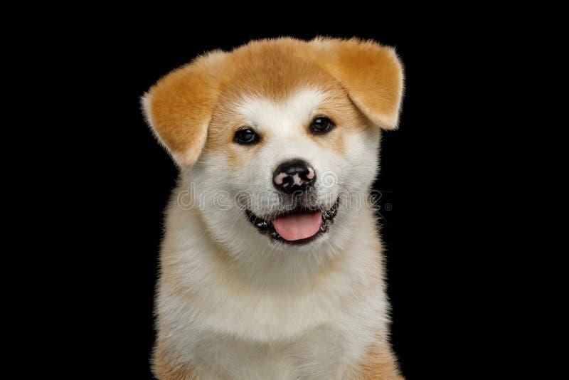 Akita Inu Puppy isolerade p? svart bakgrund arkivfoto