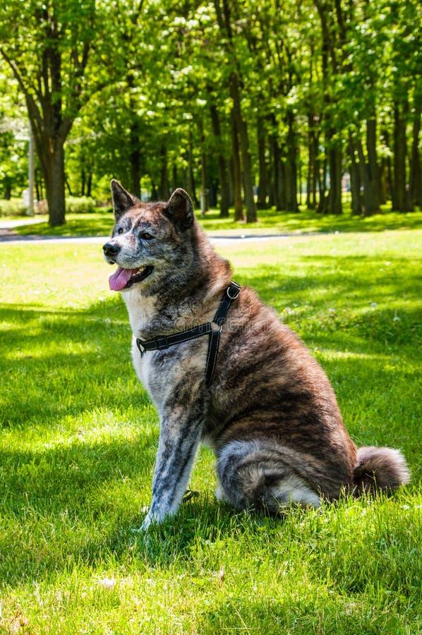 Akita Inu que se relaja después de un paseo largo imagen de archivo