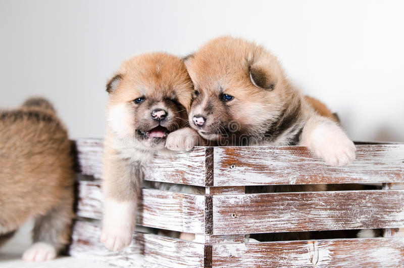 Akita puppy stock images