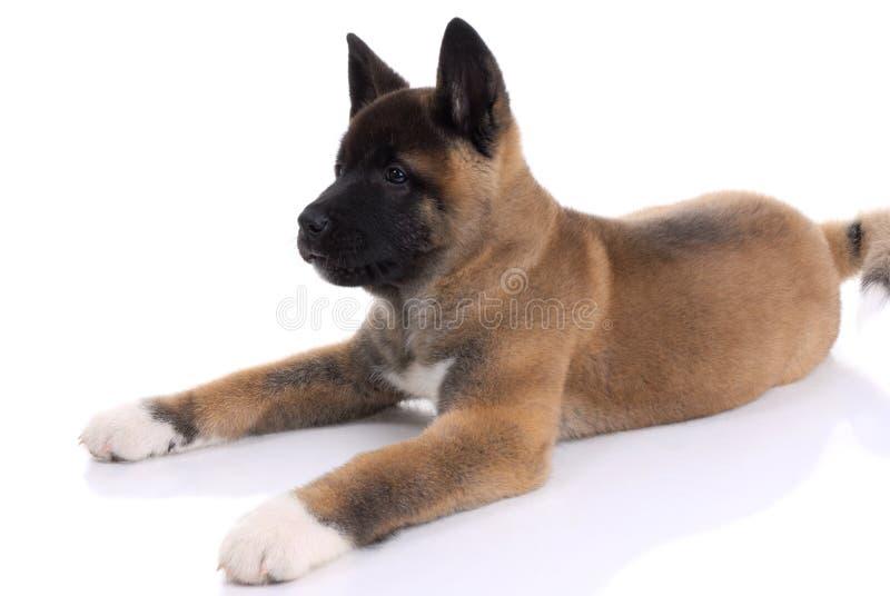 Download Akita Purebred Puppy Stock Photos - Image: 9162193