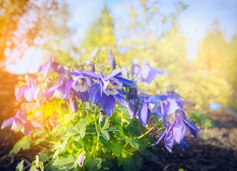 Aklejan Akelei blommar busken på suddig solig naturbakgrund royaltyfria foton
