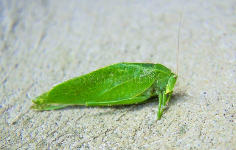 Akrididae verde senta-se no asfalto foto de stock royalty free