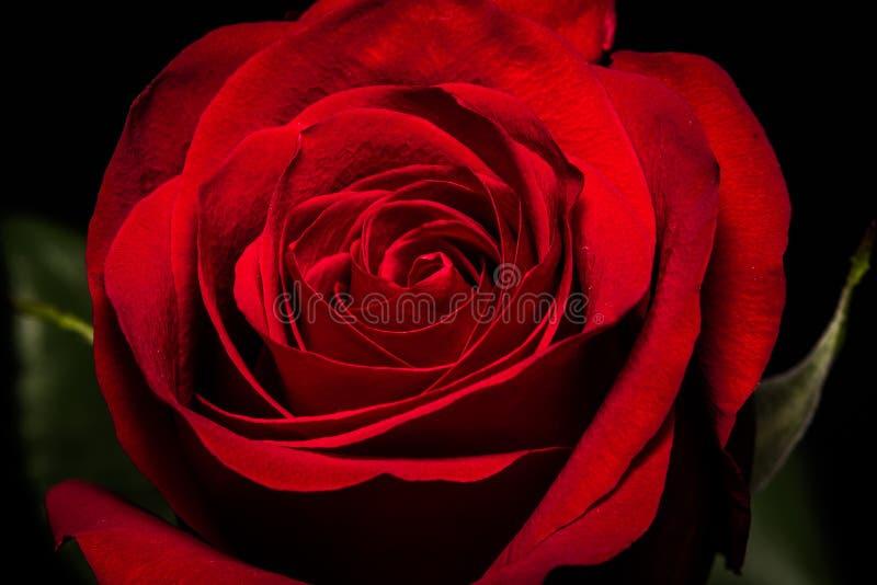 Aksamitna miękka część Głęboka - czerwieni róża miłość obrazy royalty free