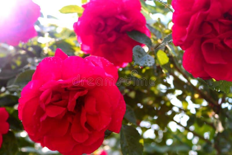 Aksamitne róże po deszczu w słońcu obraz royalty free