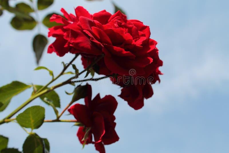 Aksamitne róże w słońcu 100f 2 8 28 al 301 kamera wieczorem f fujichrome nikon s leci film velvia obraz royalty free