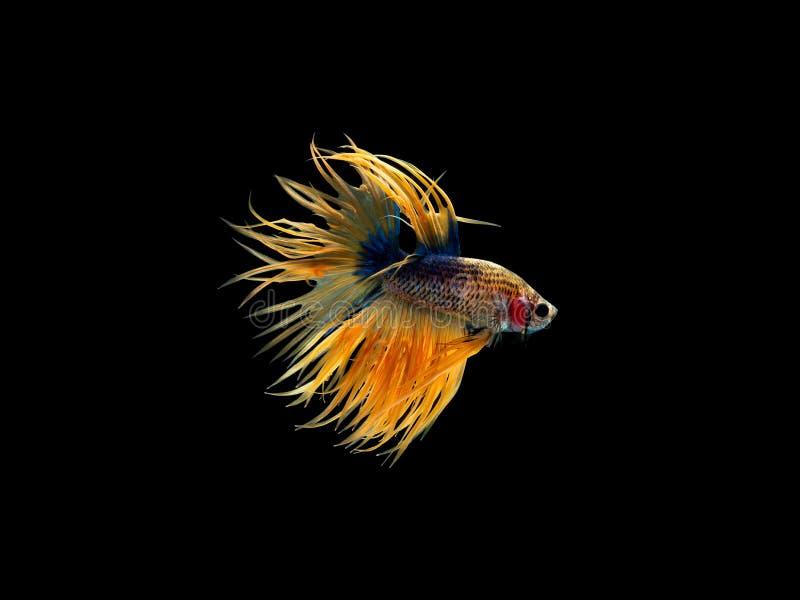 Aktion und Bewegung von thailändischen kämpfenden Fischen auf einem schwarzen Hintergrund, Crowntail Betta lizenzfreies stockfoto