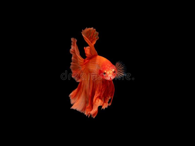 Aktion und Bewegung von thailändischen kämpfenden Fischen auf einem schwarzen Hintergrund, Halbmond Betta stockbilder