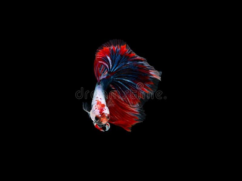 Aktion und Bewegung von thailändischen kämpfenden Fischen auf einem schwarzen Hintergrund, Halbmond Betta lizenzfreies stockfoto