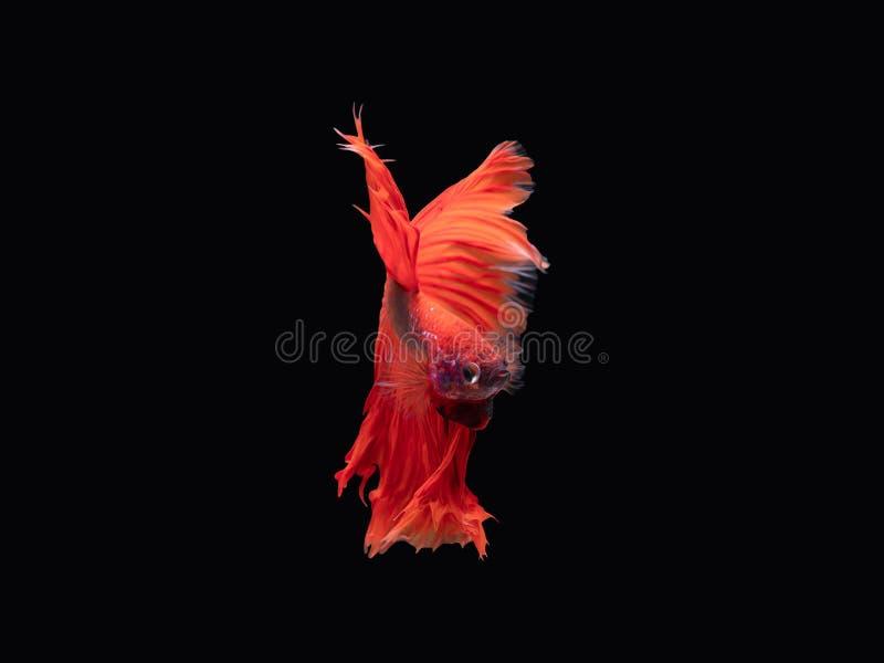 Aktion und Bewegung von thail?ndischen k?mpfenden Fischen auf einem schwarzen Hintergrund lizenzfreie stockfotografie