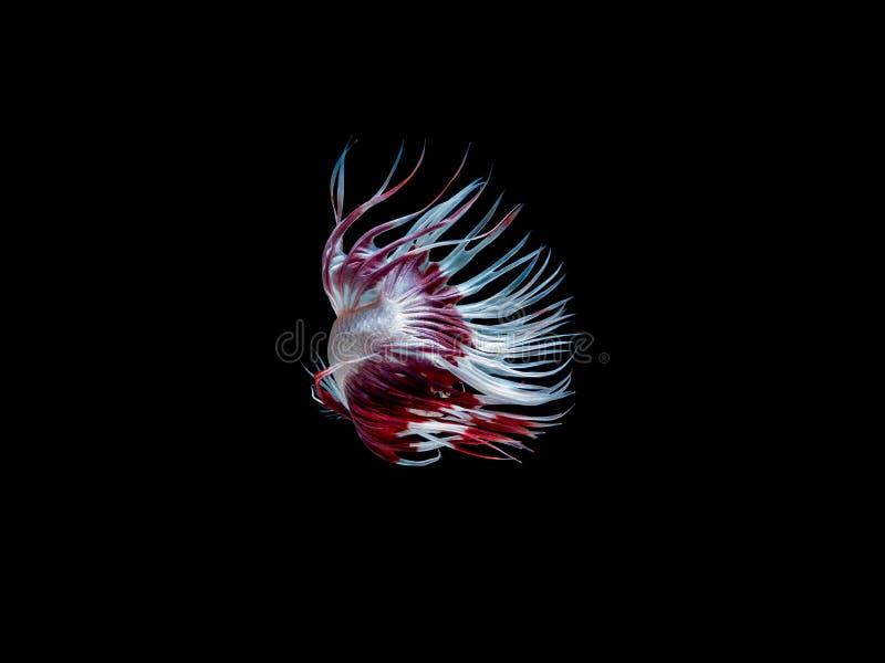 Aktion und Bewegung von thail?ndischen k?mpfenden Fischen auf einem schwarzen Hintergrund lizenzfreies stockfoto
