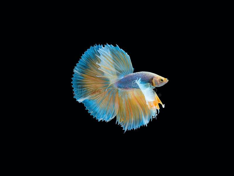 Aktion und Bewegung von thail?ndischen k?mpfenden Fischen auf einem schwarzen Hintergrund lizenzfreie stockfotos