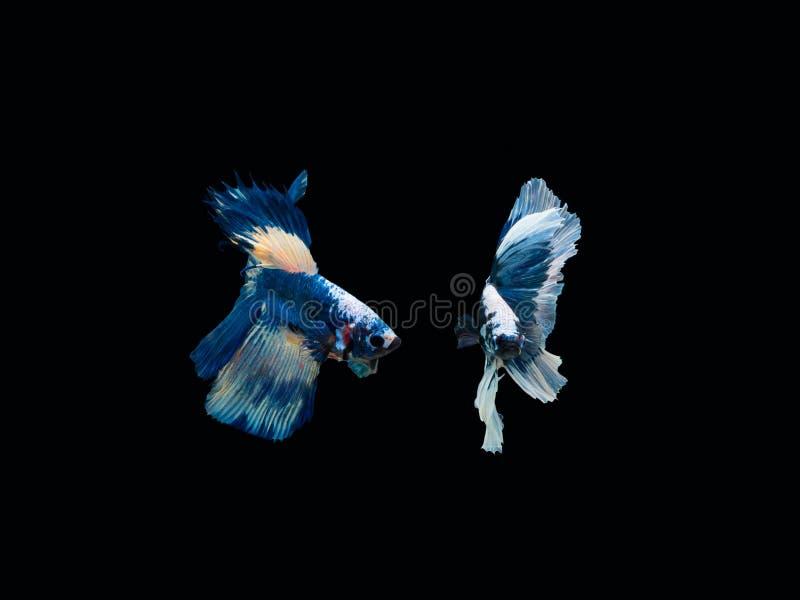 Aktion und Bewegung von thail?ndischen k?mpfenden Fischen auf einem schwarzen Hintergrund stockfotos