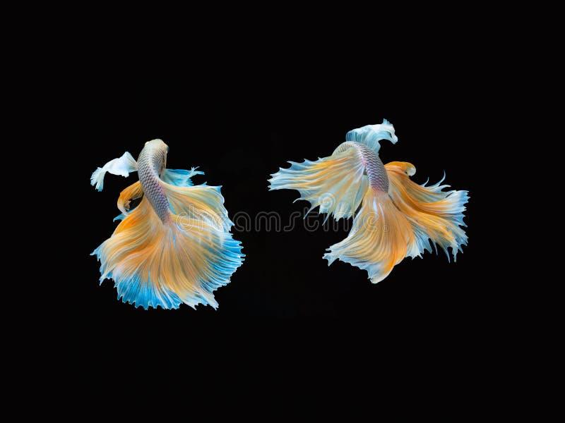 Aktion und Bewegung von thail?ndischen k?mpfenden Fischen auf einem schwarzen Hintergrund stockbild