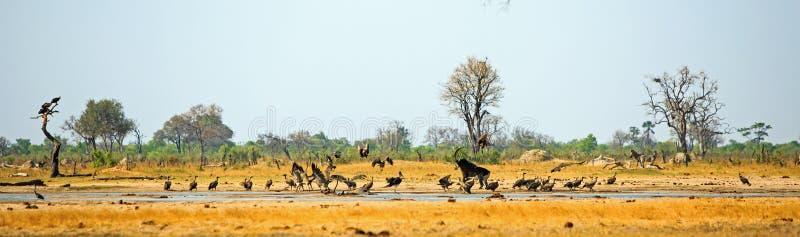 Aktion verpackte waterhole mit Geiern im Flug und eine Zobelantilope, die sie jagt lizenzfreie stockfotos