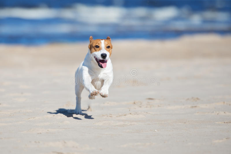 Aktiv hund för stålarrussell terrier på en strand royaltyfria bilder