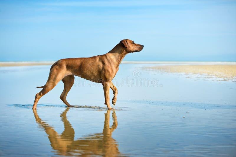Aktiv idrotts- hundvalpspring på havet arkivfoto