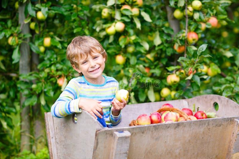 Aktiv lycklig blond ungepojke som utomhus väljer och äter röda äpplen på den organiska lantgården, höst Roligt litet förskole- ba arkivfoton