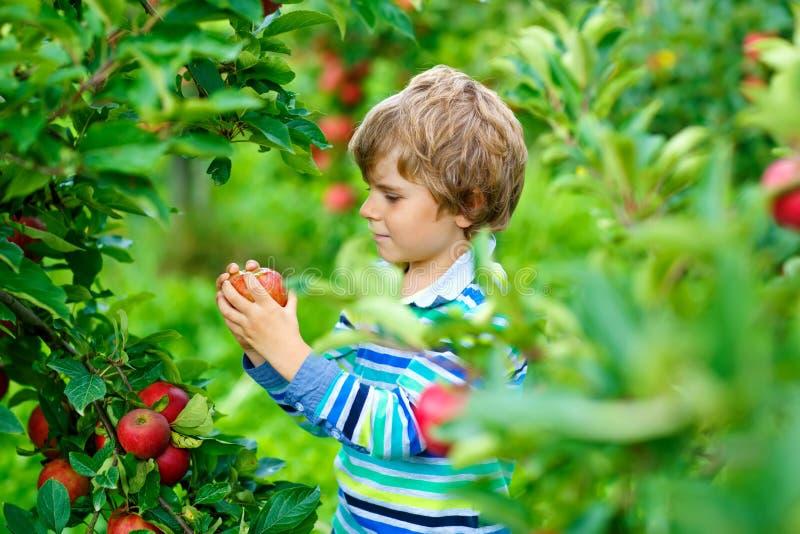 Aktiv lycklig blond ungepojke som utomhus väljer och äter röda äpplen på den organiska lantgården, höst Roligt litet förskole- ba royaltyfria bilder